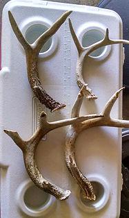 Shed Deer antlers