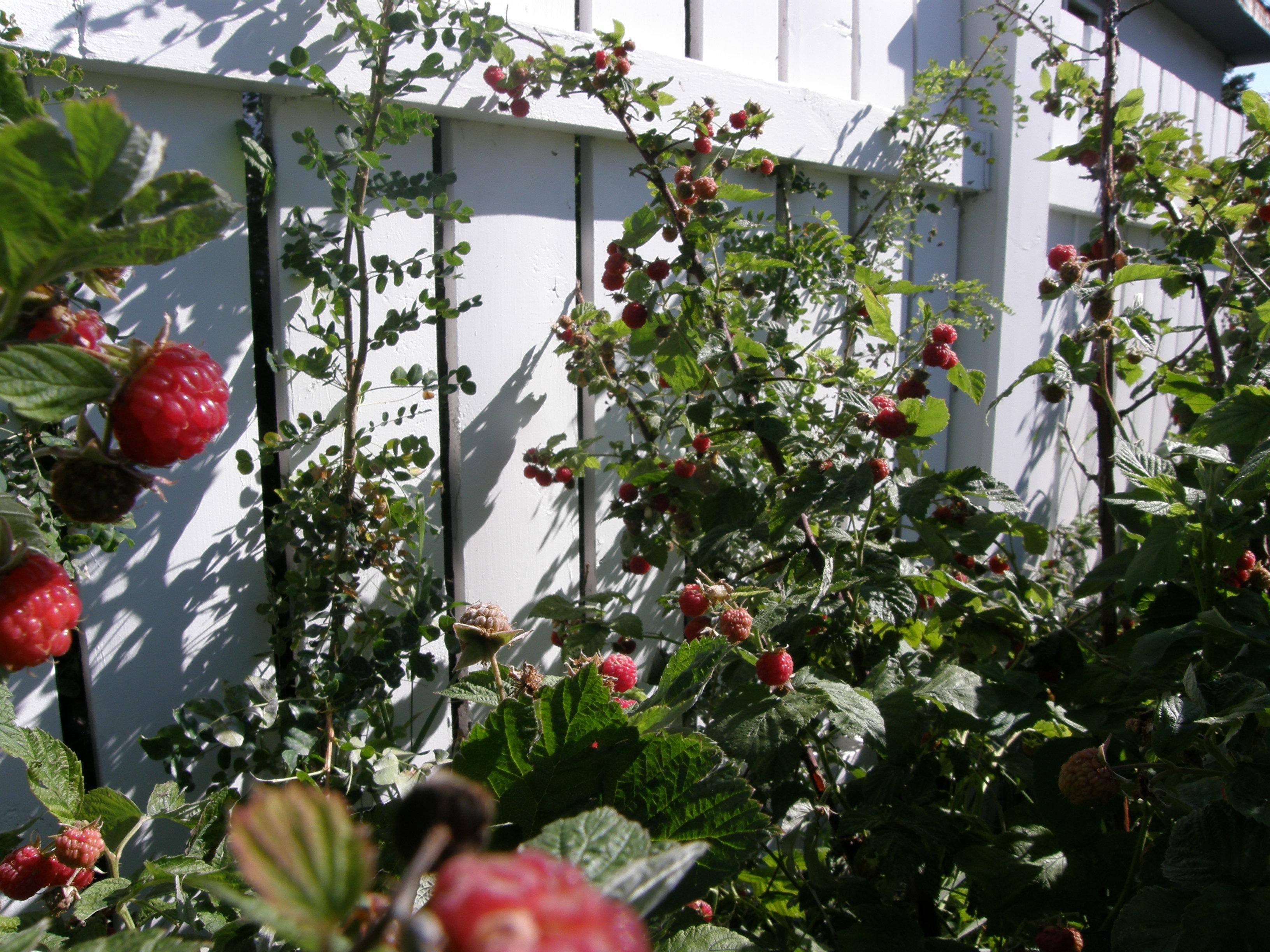 ripe raspberries in garden