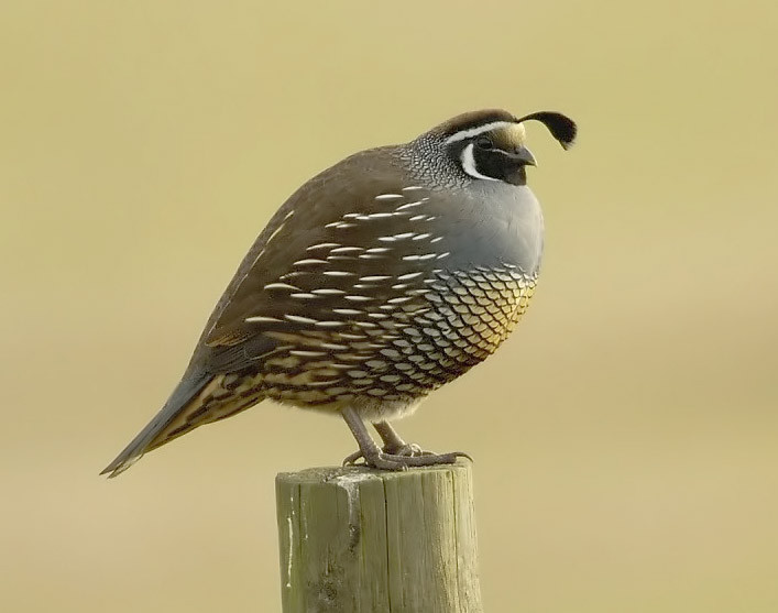 One Qualified California Quail