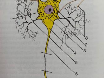 Die Entwicklung des Nervensystems Teil 1