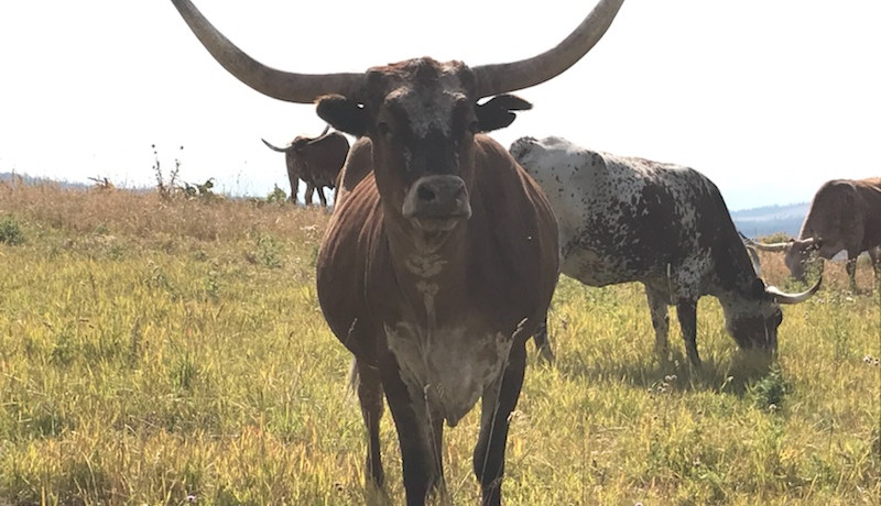 Big horn cattle in the neighboring fields