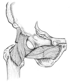 Ink sketch of hip joint