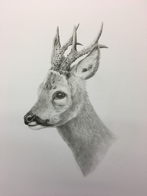 Roe Buck pencil drawing