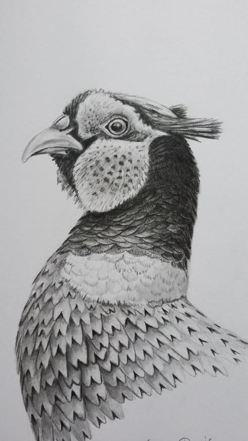 Pheasant Drawing | Ter...