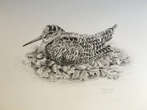 Woodcock pencil drawing