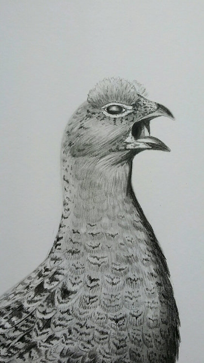 Grouse pencil drawing