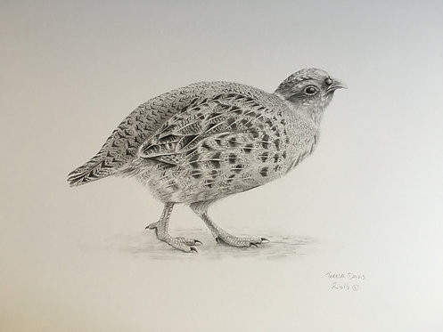 Partridge pencil drawing
