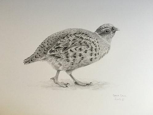 Partridge pencil drawing