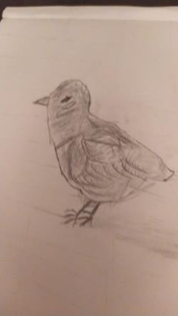 Цыпленок, карандаш. Автор_ Мухаммед