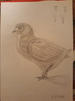 Цыпленок, карандаш. Автор Ольга