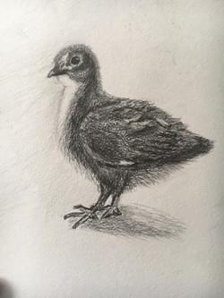 Цыпленок, карандаш. Автор_Оксана
