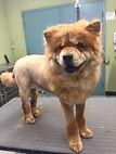 lion cut, chow, dog, groomed, spokane paw prints, washington.