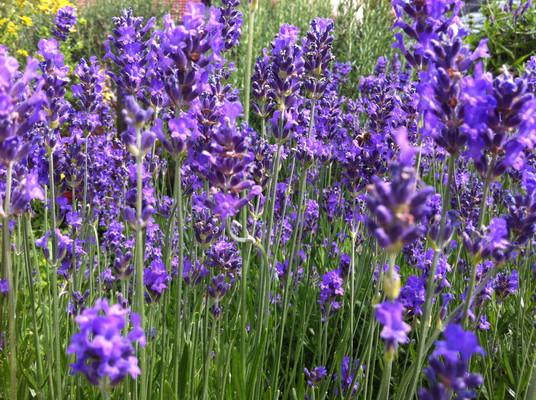 Lavendelpracht