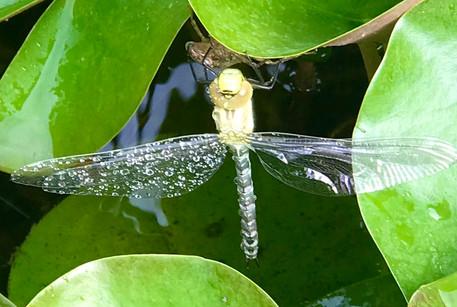 Libelle, ganz frisch geschlüpft