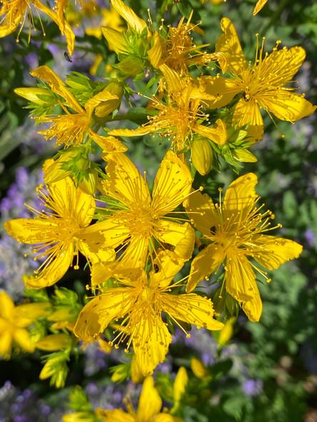 Blütensonne Johanniskraut