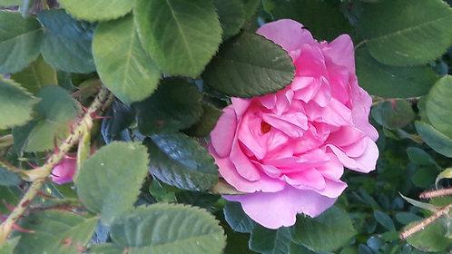"""Rêve de roses"""