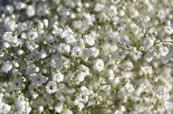 Baby's Breath - Gypsophila