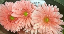 Gerb Light Pink