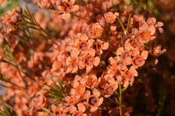 Orange Waxflower