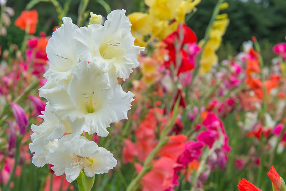 Bunch of colorful Gladiolus flowers in b