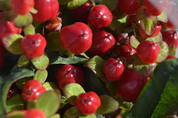 Hypericum Berry - Red