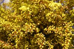 Solidago - Golden Aster