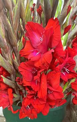 Glads Red