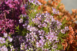Lavender Waxflower