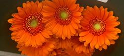 Mini Gerb Orange