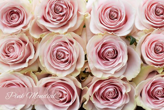 DSC_0521 pink Mondial.jpg
