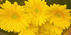 Gerb Yellow