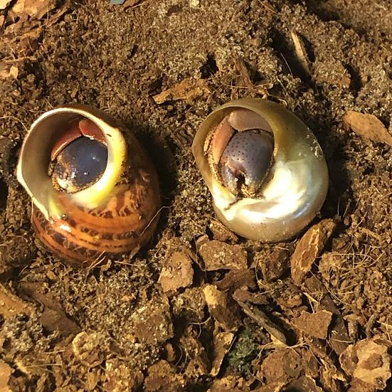 2 Land Hermit Crabs
