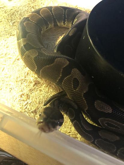 Ball Python - Cuddles
