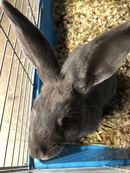 Rabbit - Prince