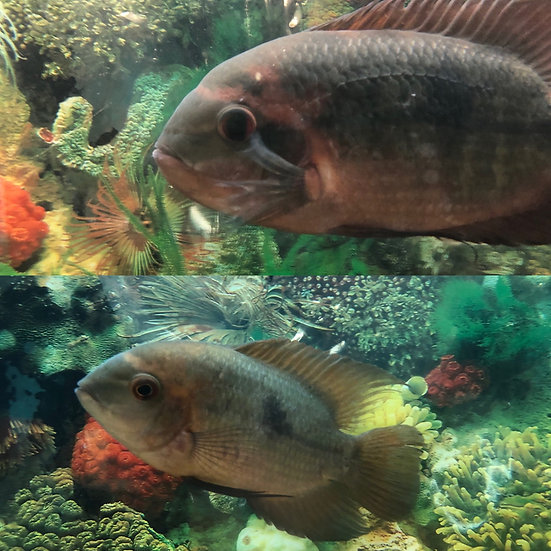 Pair of Chocolate Cichlids