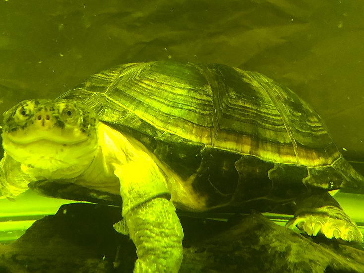XL African Sideneck Turtle