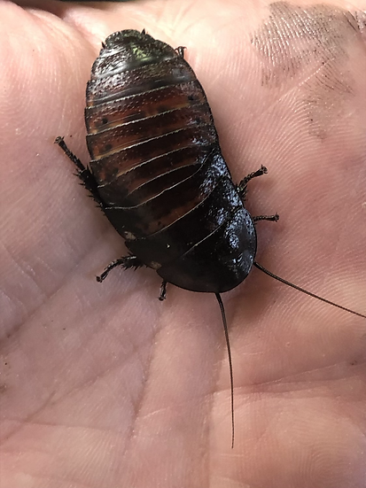 2 Madagascan Hissing Cockroaches