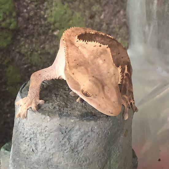 Crested Gecko - Sugar Baby