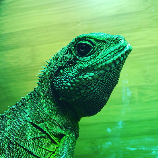 Chinese Water Dragon - Song