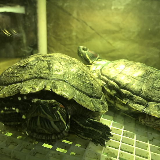 Red-Eared Sliders XL