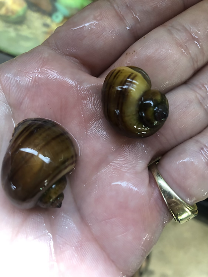 2 Chestnut Mystery Snails
