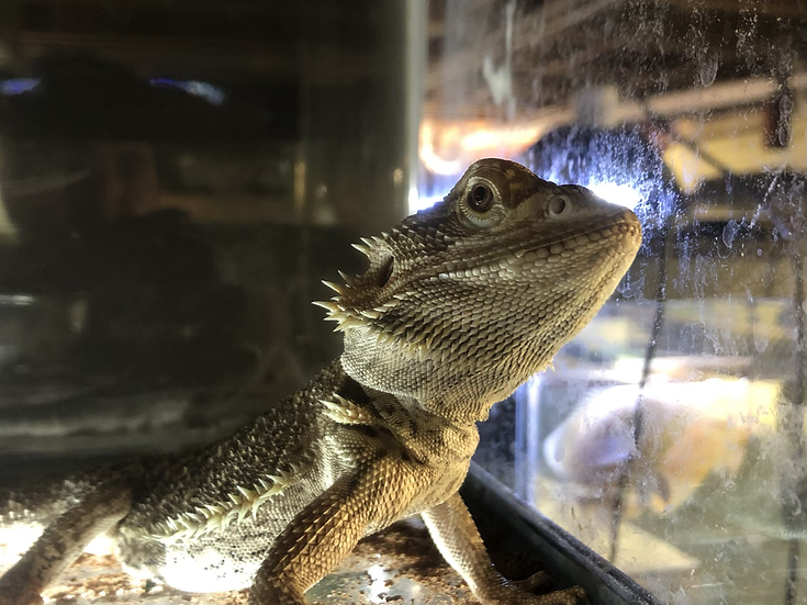 Medium Bearded Dragon