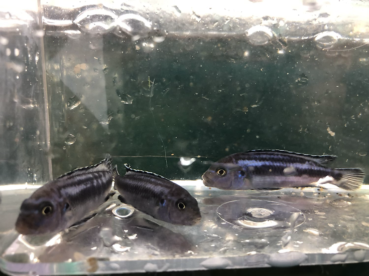 3 Small Johanni Cichlids