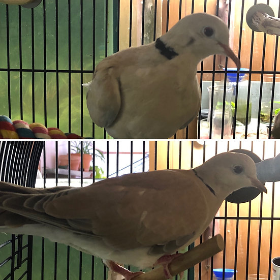 Ringneck Doves - Eduardo and Bonita