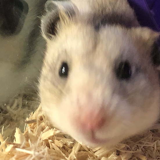 Syrian Hamster - Rizzo