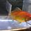 Thumbnail: Assorted Pool Comets/Goldfish