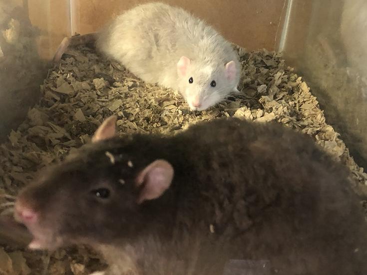 2 Fancy Rats