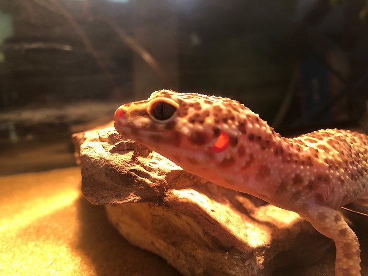 Leopard Gecko - Juju
