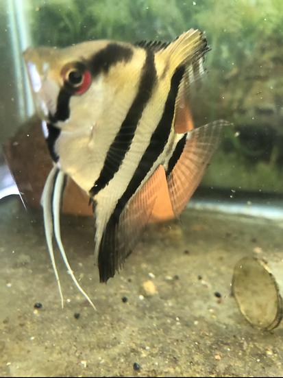 Medium Angelfish