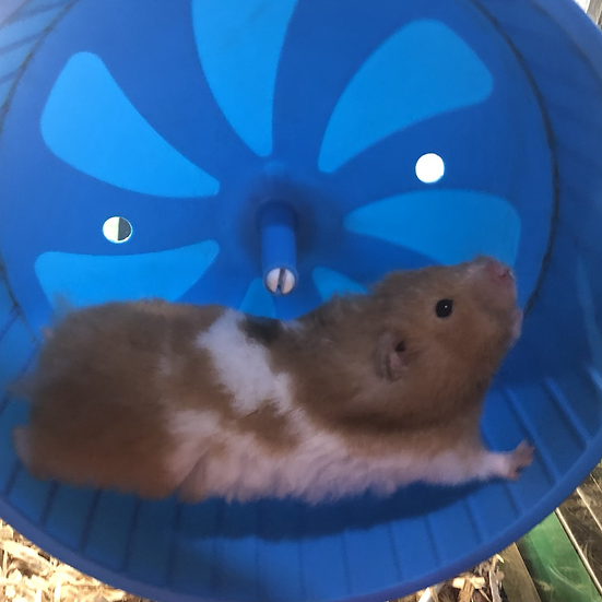 Syrian Hamster - Butters